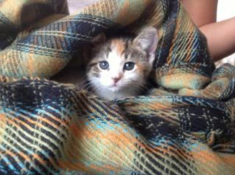 Highland Park Cat Chip Implantation Veterinary