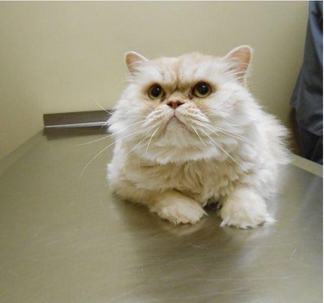 Highland Park Cat Dietary Weight Management Veterinary