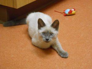 Highland Park Cat Pulse Oximetry Veterinary