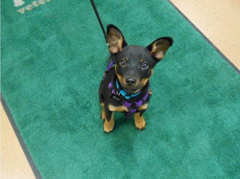 Highland Park Dog Pulse Oximetry Veterinary