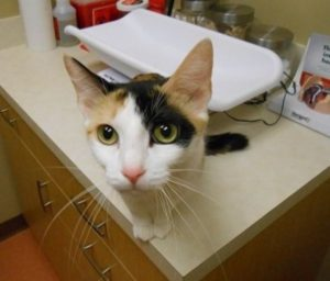 Highland Park Vet Cat Vaccines